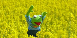 kermit the frog on the fields of rapeseeds